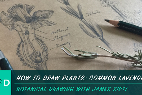 how to draw plants: common lavender