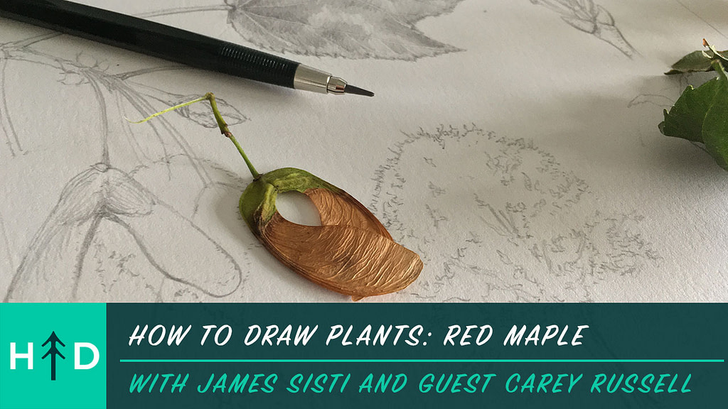how to draw plants red maple